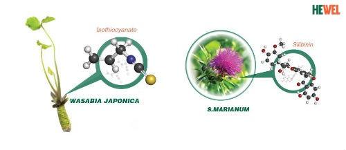 Wasabia và S. Marianum kiểm soát hoạt động tế bào Kupffer bảo vệ gan-yoga hỗ trợ điều trị bệnh gan