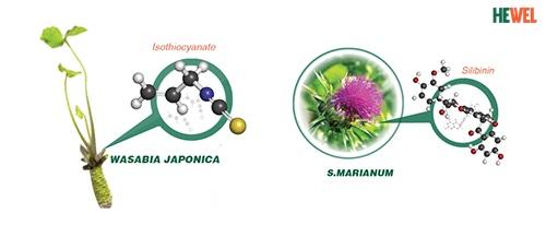 Wasabia và S. Marianum có tác dụng tốt đối với gan.