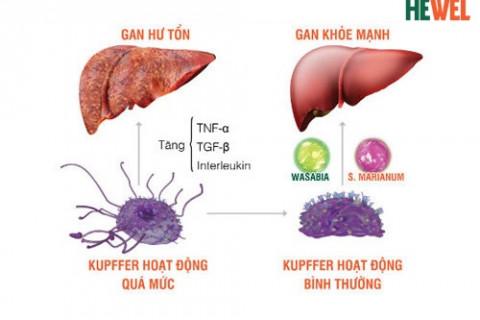 Phát hiện mới về tế bào Kupffer - Tác nhân quan trọng gây suy gan