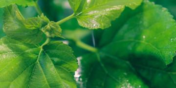 Chọn thuốc giải độc gan: Không phải cứ mát gan là giải độc tốt