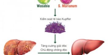 Wasabia và S. Marianum: 2 thảo dược quý hỗ trợ cải thiện bệnh gan